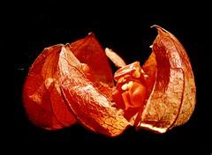 Seeds of physalis (travel Jam) Tags: memberschoiceseeds sunlight fruit orange mirror macro fz150 lumix physalis seeds seed macromondays