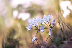 Helios 40-2 (Xavier Ligonnet (Daftlive)) Tags: springtime spring helios macro flower flowers white bokeh flare sun sunset golden goldenhour