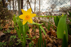 What do Daffodils do? (A Great Capture) Tags: ig ash2276 ashleylduffus ald mobilejay jamesmitchell toronto on ontario canada canadian photographer northamerica torontoexplore spring springtime printemps 2017 daffodil flower garde momsgarden gwowth blooms blooming nature yellow green fence backyard overcast garden jardin fleur efs1018mm 10mm
