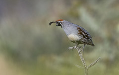 Gambels Quail (nikunj.m.patel) Tags: quail gambelsquail grassland birds avian wildlife nature photography arizona kingman southwest