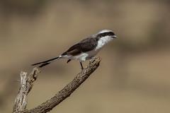 Grey-backed Fiscal (Hector16) Tags: olareorokconservancy africa kenya wildlife olare kicheche masaimara laniusexcubitoroides ngc npc laniusexcubitorius