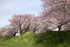 Cherry blossom (Ichigo Miyama) Tags: 桜川の桜 cherryblossom 桜 サクラ 菜の花 flower plant