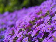 flower carpet (michaelmueller410) Tags: flower flowers blume blumen steingewächs lila purple spring frühling frühjahr yellow green dof bokeh macro makro closeup