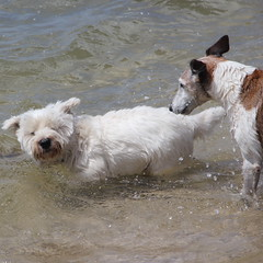 Loving it (Gillian Everett) Tags: portrait dog water drops angus westie queensland westhighlandwhiteterrier personalspace noosariver odt chaplinpark