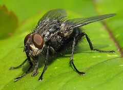 Slurp! (beneventi2013) Tags: diptera calliphoridae canonpowershota610 brachycera paolobeneventi