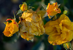 Every end is a beginning (Poupetta aka Ann) Tags: autumn roses fall yellow helsinki fading autumnal wilting