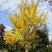 Autumn-Tall-Tree