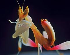Hymenopus coronatus, Orchid Mantis L3 (_papilio) Tags: orchid macro mantis nikon invertebrate canonmpe65mm papilio mantid arthropod coronatus orchidmantis hymenopus sigma150mmapo d800e
