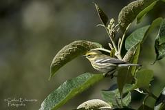 Townsend's warbler / Chipe de townsend (Setophaga townsendi) female. (Carlos Echeverra) Tags: