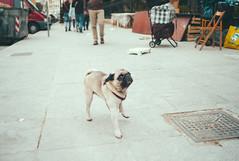 very dangerous dog (gorbot.) Tags: dog pug smalldog sicily palermo lightroom rangefindercamera mmount leicam8 voigtlander28mmultronf19 vscofilm