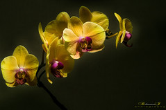 Orchid (aniribe) Tags: orchid flower nature yellow nikon