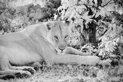 Wild Lioness (zenseas) Tags: africa wild vacation blackandwhite bw holiday ir lion safari infrared roadside namibia lioness etosha panthera pantheraleo selfdrive etoshanationalpark elanddrive