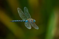 Libélula (Aeshna) (Garimba Rekords) Tags: libélula azul vitoria gasteiz euskalherria euskadi eh pantano salburua aeshna