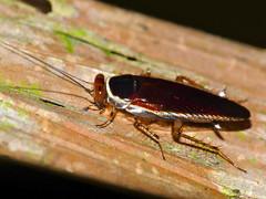 Forest Cockroach (Pseudophyllodromia sp.) (berniedup) Tags: sarawak malaysia borneo mulu pseudophyllodromia