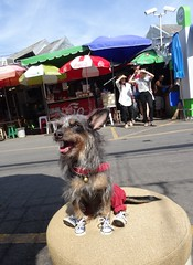 Bangkok - happy dog wearing tennis shoes and red pants (ashabot) Tags: cute dogs animals thailand happy bangkok happiness streetlife happydays streetscenes cuteanimals cooldog marketscenes