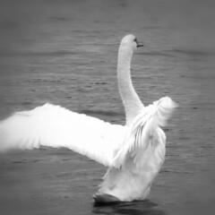 swan  134/365 (Eric.Ray) Tags: white black project square lumix photo panasonic 365 dmc