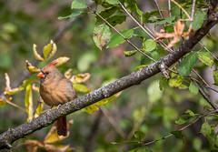 Female Cardinal (hey its k) Tags: birds female cardinal rbg hfg grindstonemarsh canon6d cherryhillgate cherryhillrbg img0962edit