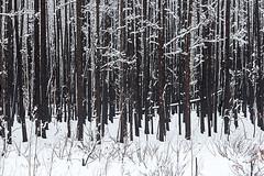 Fresh snow on burnt trees (adamhillstudios) Tags: winter white snow black fire nwt burn