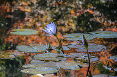 Fall colors in the Lily pond (EXPLORED) (StGrundy) Tags: flowers autumn usa plant flower detail fall nature water floral reflections garden georgia botanical pond nikon colorful quiet waterlily lily purple unitedstates natural pastel south lavender peaceful explore southern lilies waterlilies watergardens zen tropical serene meditation southeast lilypad liquid brilliant tranquil nymphaea northgeorgia freshwater lightroom nymphaeaceae aquaticplant explored flowersinwater ballground d7000 waterlilygarden gibbsgardens