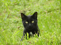 Black cat in the green grass (Tomasi Mirko) Tags: verde green grass blackcat pussy panther gatto varese pussycat gattonero occhiverdi 21100 eyesgreen fantasticnature cc5000 cc12000 cc8000 cc13000 cc11000 cc14000 cc9000 cc30000 cc10000 cc25000 cc16000 cc20000 cc15000 cc18000 allnaturesparadise tomasimirko cc17000 cc29000 cc31000