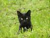 Black cat in the green grass (Tomasi Mirko) Tags: tomasimirko blackcat green grass varese gatto gattonero verde eyesgreen occhiverdi 21100 cc5000 cc8000 cc9000 cc10000 cc11000 pussy cc12000 pussycat cc13000 cc14000 fantasticnature cc15000 cc16000 cc17000 cc18000 cc20000 allnaturesparadise panther cc25000 cc29000 cc30000 cc31000 cc35000 cc36000