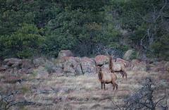 Elk (Inge Vautrin Photography) Tags: oklahoma nature canon wildlife elk ok wichitamountainswildliferefuge canoneos7d