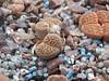 DSCF0118 (BobTravels) Tags: plant stone bob lithops lithop messem bobwitney