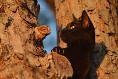 Gaze (Leela Channer) Tags: blue sunset sky brown tree cute male yellow pine night cat golden evening twilight eyes dusk chocolate havana hunting hour coloured