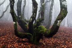 DSC_0831_M (Giacomo Maria) Tags: autumn trees tree fog alberi forest italia toscana nebbia albero autunno bosco mists foresta valdarno vallombrosa nebbie pivi reggello evanescente giemmepivi