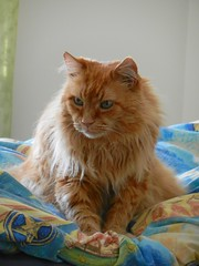 DSCN4111 staring into the distance (drayy) Tags: orange cat bed soft fluffy mainecoon neko ggg cc700 cc400 cc300 cc200 cc100 cc500 cc600 oreengeness velvetpaws thebiggestgroupwithonlycats
