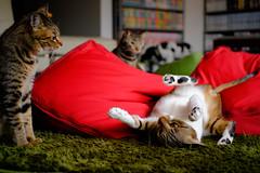 Provocation (rampx) Tags: cat action voigtlander fujifilm neko ponta   taby kotaro musashi miaw xt1 colorskopar35mmf25pii