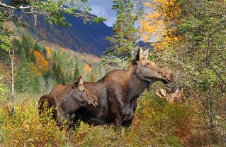 orignaux / moose  family