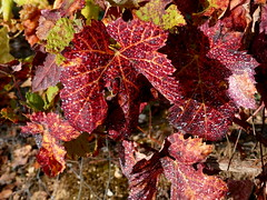 Autumn leaves (rgrant_97) Tags: autumn folhas portugal leaves walking vines outuno penela videira parras vinhas caminhadas rabaçal soure