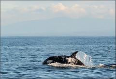 T's nov 26 (Selena Rhodes Scofield Photography) Tags: ocean orca killerwhale victoriabc orcinusorca blackfish salishsea transientorca delphinidae transientkillerwhales selenarhodesscofieldphotography