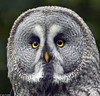Great Grey Owl Close-Up (f0rbe5) Tags: portrait white black bird yellow closeup grey gray beak ears andover greatgreyowl raptor lapland owl greatgrayowl spruce asymmetrical sooty bearded ruff spectral strix nebulosa 2014 greatgray strixnebulosa greyowl grayowl cinereous greatgrey hants verylarge hawkconservancy laplandowl sootyowl beardedowl facialdisc phantomofthenorth spectralowl spruceowl cinereousowl snowplunge largestfacialdisc asymmetricalears