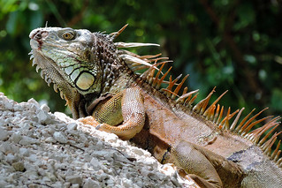 Churchyard - Close Up Iguana