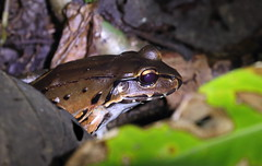 Bolivian toad-frog, jungle night walk (tik_tok) Tags: latinamerica nature night forest dark noche nationalpark rainforest costarica hiking wildlife amphibian jungle naturalbeauty centralamerica manuelantonio boliviantoadfrog leptodactylusbolivianus