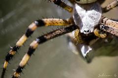 Argiope bruennichi  (Julien G. - Macrophoto) Tags: france macro nature closeup canon insect spider europe european wasp wildlife web spiderweb orb 100mm cobweb arachnida argiope araneae frelon bruennichi 70d