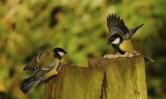 My Food! (d_salter) Tags: birds woods fujifilm greattit xm1 bradleywoods