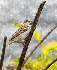 A Sparrow's Hangout (Explored) (Carolyn Lehrke) Tags: usa green birds yellow watercolor wv sparrow shrub hangout explored greenbriercounty fotosketcher