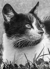 Barba Negra (Danny Sanzio) Tags: chile portrait animal cat retrato concepcion gato flickrunitedaward