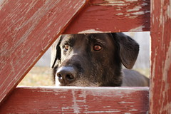 Jack (Camusi) Tags: portrait dog chien canada north northwestterritories nord yellowknife museau northof60 territoiresdunordouest