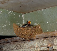 DSC_0013 (RUMTIME) Tags: bird birds chick queensland swallow coochie coochiemudlo citrit