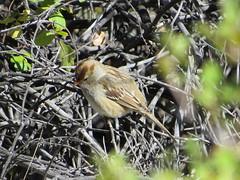 Young White-Crowned Sparrow (Patricia Henschen) Tags: arkansasriver whitecrownedsparrow canoncitycolorado riverwalk bird birds usroute50