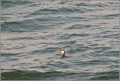 Zeekoet (pietplaat) Tags: scheveningen vogels zeekoet zuiderhavenhoofd pietplaat