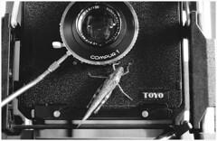 Cavalletta su cavalletto (Italian Film Photography) Tags: film silver insect fun flickr minolta explore grasshopper locust analogue visitors bancoottico insetto toyo x700 xtol cavalletta pellicola ospite fomapan200 explored