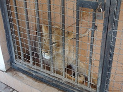 Lion @ Lahore Zoo