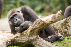 2014-09-19-12h23m22.272P3690 (A.J. Haverkamp) Tags: germany zoo gorilla hannover dierentuin westelijkelaaglandgorilla kiburi httpwwwzoohannoverde pobhannovergermany dob27062004 canonef500mmf4lisiiusmlens