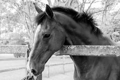 FXE21209.jpg (marcelo_valente) Tags: horse monochrome sãopaulo fujifilm cavalo clubedecampo xe2 fujifilmxe2