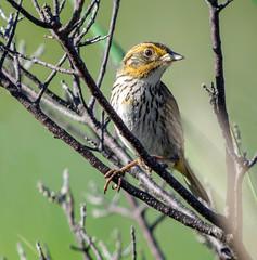 Saltmarsh Sparrow (Ammodramus caudacutus) - Cattus Island, NJ (JFPescatore) Tags: elements ammodramuscaudacutus saltmarshsparrow